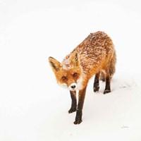 Red Fox II Fine-Art Print