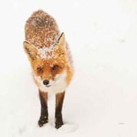 Red Fox I Fine-Art Print