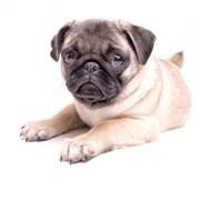 Cute Pug Puppy Fine-Art Print