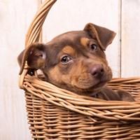 Puppy in a Basket Fine-Art Print