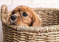 Puppy in a Laundry Basket Fine-Art Print