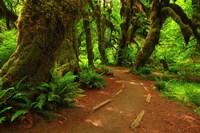 Hoh Rainforest, WA Fine-Art Print