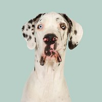 Daeaa the Great Dane Fine-Art Print
