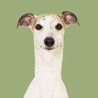 Dogs Hugo the Whippet Fine-Art Print