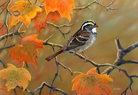 Whitethroated Sparrow Fine-Art Print