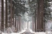 Pines in Winter Dress Fine-Art Print