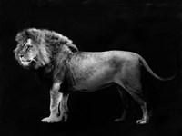 Panthera Leo Fine-Art Print