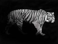 Panthera Tigris Fine-Art Print