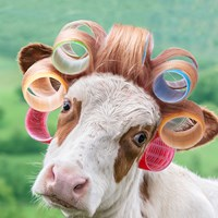 Cow in Curlers Fine-Art Print