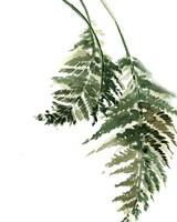 Green Ferns IV Fine-Art Print