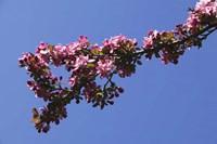 Flowering Tree Branch, Blue Sky, North Carolina Fine-Art Print