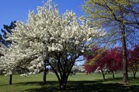 Pin Cherry Tree Blooming, New York Fine-Art Print