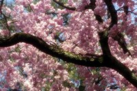 Cherry Blossom Tree In Bloom In Springtime, Tokyo, Japan Fine-Art Print