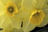 Cache Valley Daffodils, Utah Fine-Art Print