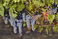 Close Up Of Cabernet Sauvignon Grapes In The Haras De Pirque Vineyard, Chile, South America Fine-Art Print