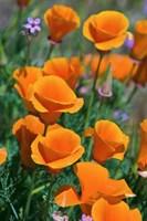 California Poppies, Antelope Valley, California Fine-Art Print