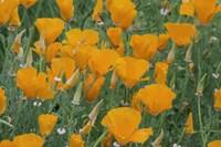 California Poppy, Santa Barbara Botanical Garden, California Fine-Art Print