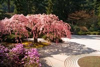A Cherry Tree Blossoms Over A Rock Garden In The Japanese Gardens In Portland's Washington Park, Oregon Fine-Art Print