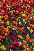 Wind Blows A Field Of Multi-Colored Tulips, Mount Vernon, Washington State Fine-Art Print