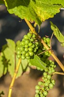 Pinot Gris Wine Grapes Ripen At A Whidbey Island Vineyard, Washington Fine-Art Print