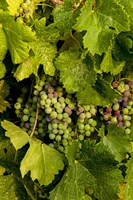 Pinot Grapes In Veraison In Vineyard In The Okanogan Valley, Washington Fine-Art Print