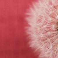 Dandelion on Red II Fine-Art Print