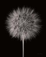 Dandelion Fluff on Black Fine-Art Print