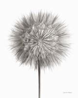 Dandelion Fluff on White Fine-Art Print