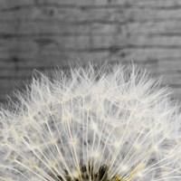 Delicate Dandelion Fine-Art Print