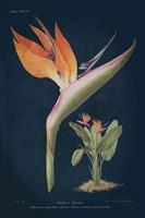 Stelitzia Reginoe Dark Blue Fine-Art Print