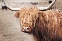 Scottish Highland Cattle I Neutral Fine-Art Print