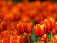 Tulips Forever Fine-Art Print
