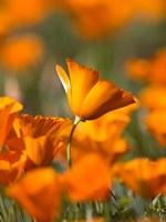 Detail Of Golden California Poppy In Antelope Valley Fine-Art Print