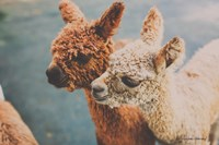 Baby Alpacas Fine-Art Print