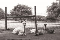 Alpaca Family Fine-Art Print