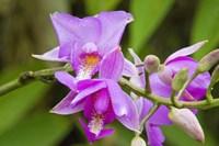 Wild Orchid, Cloud Forest, Upper Madre De Dios River, Peru Fine-Art Print