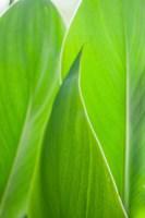 Canna Leaf Close-Up 1 Fine-Art Print