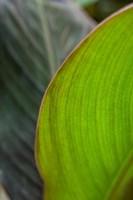 Canna Leaf Close-Up 2 Fine-Art Print