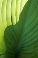 Hosta Leaf Detail 2 Fine-Art Print
