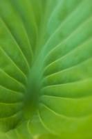 Hosta Leaf Detail 3 Fine-Art Print