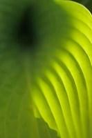 Hosta Leaf Detail 4 Fine-Art Print