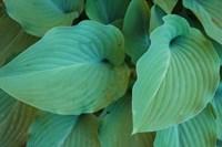 Hosta Leaf Detail 5 Fine-Art Print