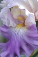Pale Lavender Bearded Iris Close-Up Fine-Art Print