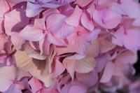 Pink Hydrangea Blossom 1 Fine-Art Print