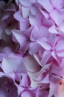 Pink Hydrangea Blossom 2 Fine-Art Print