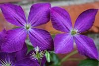 Purple Clematis Flowers 2 Fine-Art Print