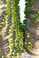 Madagascar Spiny Forest, Anosy - Ocotillo Plants With Leaves Sprouting From Their Trunks Fine-Art Print