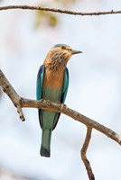 India, Madhya Pradesh, Bandhavgarh National Park An Indian Roller Posing On A Tree Branch Fine-Art Print