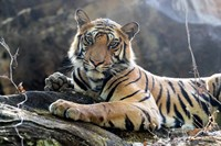 India, Madhya Pradesh, Bandhavgarh National Park A Young Bengal Tiger Resting On A Cool Rock Fine-Art Print