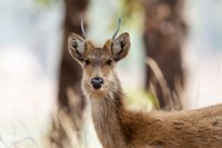 India, Madhya Pradesh, Kanha National Park Headshot Of A Young Male Barasingha Fine-Art Print